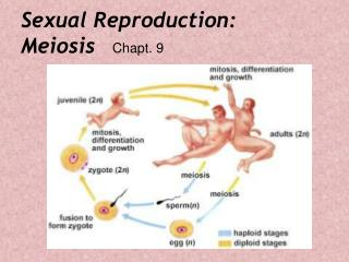 Sexual Reproduction: Meiosis