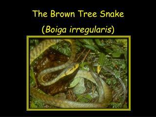 The Brown Tree Snake ( Boiga irregularis )