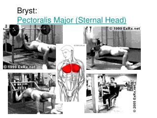 Bryst: Pectoralis Major (Sternal Head)
