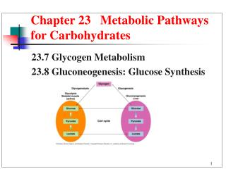 Chapter 23   Metabolic Pathways for Carbohydrates