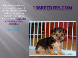 19Breeders Announces Adorable Bichon Poo Puppies