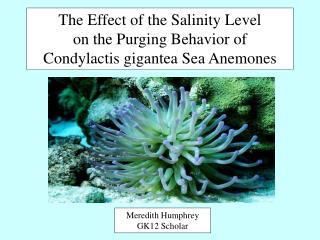 The Effect of the Salinity Level on the Purging Behavior of Condylactis gigantea Sea Anemones