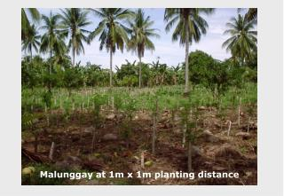 Malunggay at 1m x 1m planting distance