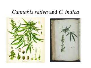 Cannabis sativa  and  C. indica