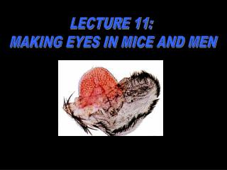 LECTURE 11:  MAKING EYES IN MICE AND MEN