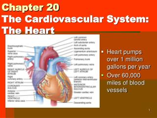 Chapter 20 The Cardiovascular System: The Heart