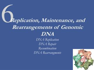 Replication, Maintenance, and Rearrangements of Genomic DNA DNA Replication DNA Repair Recombination DNA Rearrangments