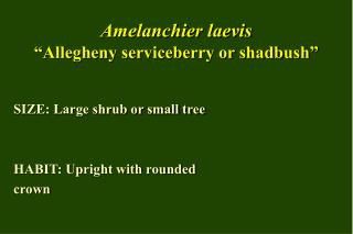 "Amelanchier laevis ""Allegheny serviceberry or shadbush"""