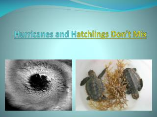Hurricanes and H atchlings Don't Mix