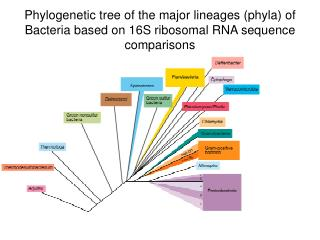 Phylogenetic tree of the major lineages (phyla) of Bacteria based on 16S ribosomal RNA sequence comparisons