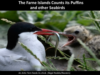 The Farne Islands Counts its Puffins and other Seabirds