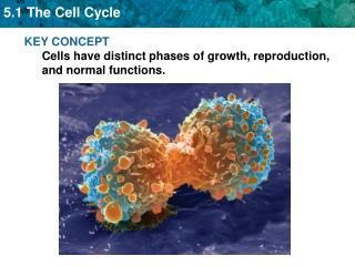 KEY CONCEPT Cells have distinct phases of growth, reproduction, and normal functions.