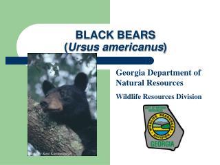 BLACK BEARS ( Ursus americanus )