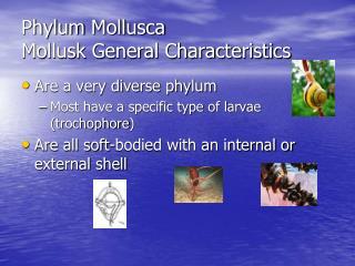 Phylum Mollusca Mollusk General Characteristics