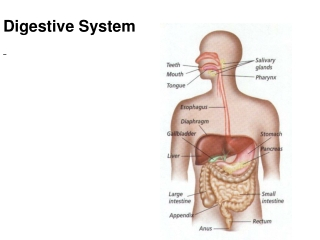 alimentary system ii  accessory organs of gi tract
