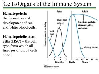 Hematopoiesis  –  the formation and development of red and white blood cells.