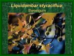 Liquidambar styraciflua; Sweetgum