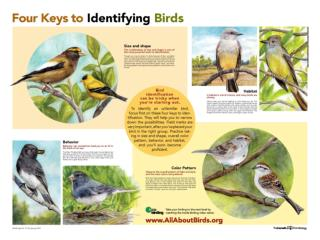 Identifying Bird Groups by Silhouette Birds vary in size. Silhouettes alone gives many clues to a bird's identity.