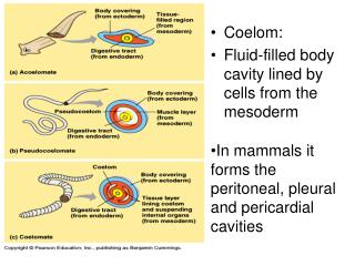 Coelom: Fluid-filled body cavity lined by cells from the mesoderm