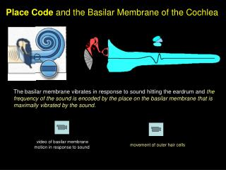 Place Code and the Basilar Membrane of the Cochlea