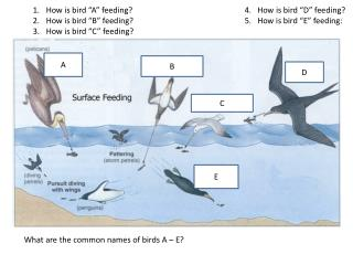 "How is bird ""A"" feeding?				4. How is bird ""D"" feeding? How is bird ""B"" feeding?				5. How is bird ""E"" feeding: How"