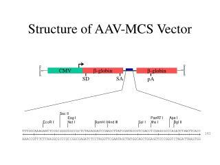 Structure of AAV-MCS Vector