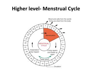 Higher level- Menstrual  Cycle