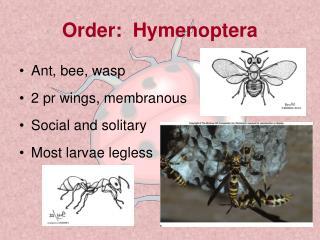 Order: Hymenoptera
