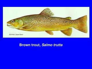 Brown trout , Salmo trutta