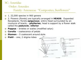 "SC: Asteridae      Order: Asterales            Family: Asteraceae  ""Composites, Sunflowers"""