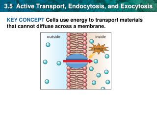 3.5  Active Transport, Endocytosis, and Exocytosis