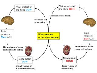 Water content  of the blood normal