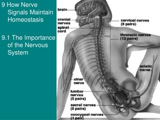9 How Nerve Signals Maintain Homeostasis 9.1 The Importance of the Nervous System