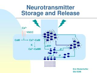 Neurotransmitter Storage and Release