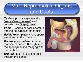 Male Reproductive Organs and Ducts