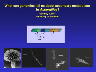 What can genomics tell us about secondary metabolism  in  Aspergillus ? Geoffrey Turner  University of Sheffield