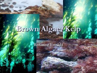 Brown Algae/Kelp