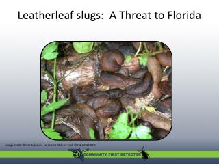 Leatherleaf slugs:  A Threat to Florida