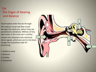 Ear   The Organ of Hearing    and Balance