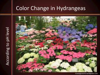Color Change in Hydrangeas