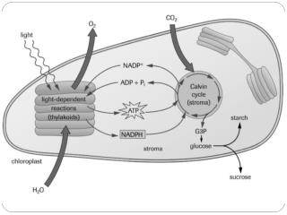 7.1 The Importance of Cellular Respiration