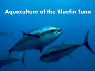 Aquaculture of the  Bluefin  Tuna