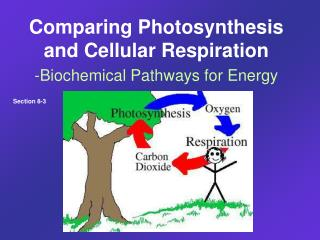 Comparing Photosynthesis and Cellular Respiration -Biochemical Pathways for Energy
