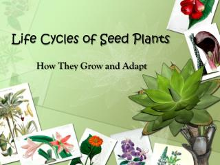 Life Cycles of Seed Plants