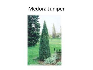 Medora Juniper