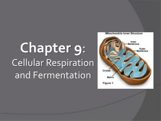 Chapter  9 : Cellular  Respiration and Fermentation