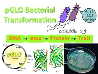 pGLO  Bacterial Transformation