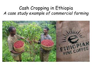 Cash Cropping in  Ethiopia A case study example of commercial farming