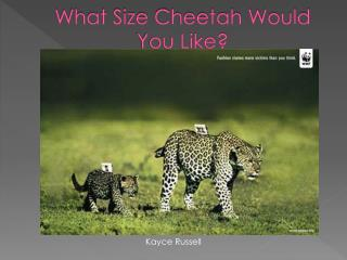 What Size Cheetah Would You Like?