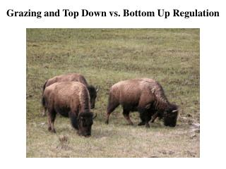 Grazing and Top Down vs. Bottom Up Regulation